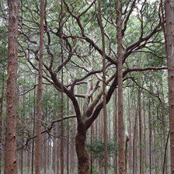 Euacalyptus