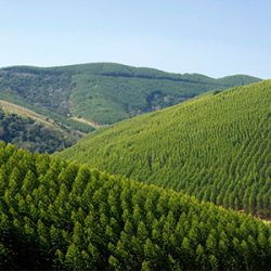 Euacalyptus Plantation