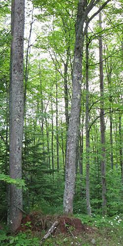 Appalachia Forest