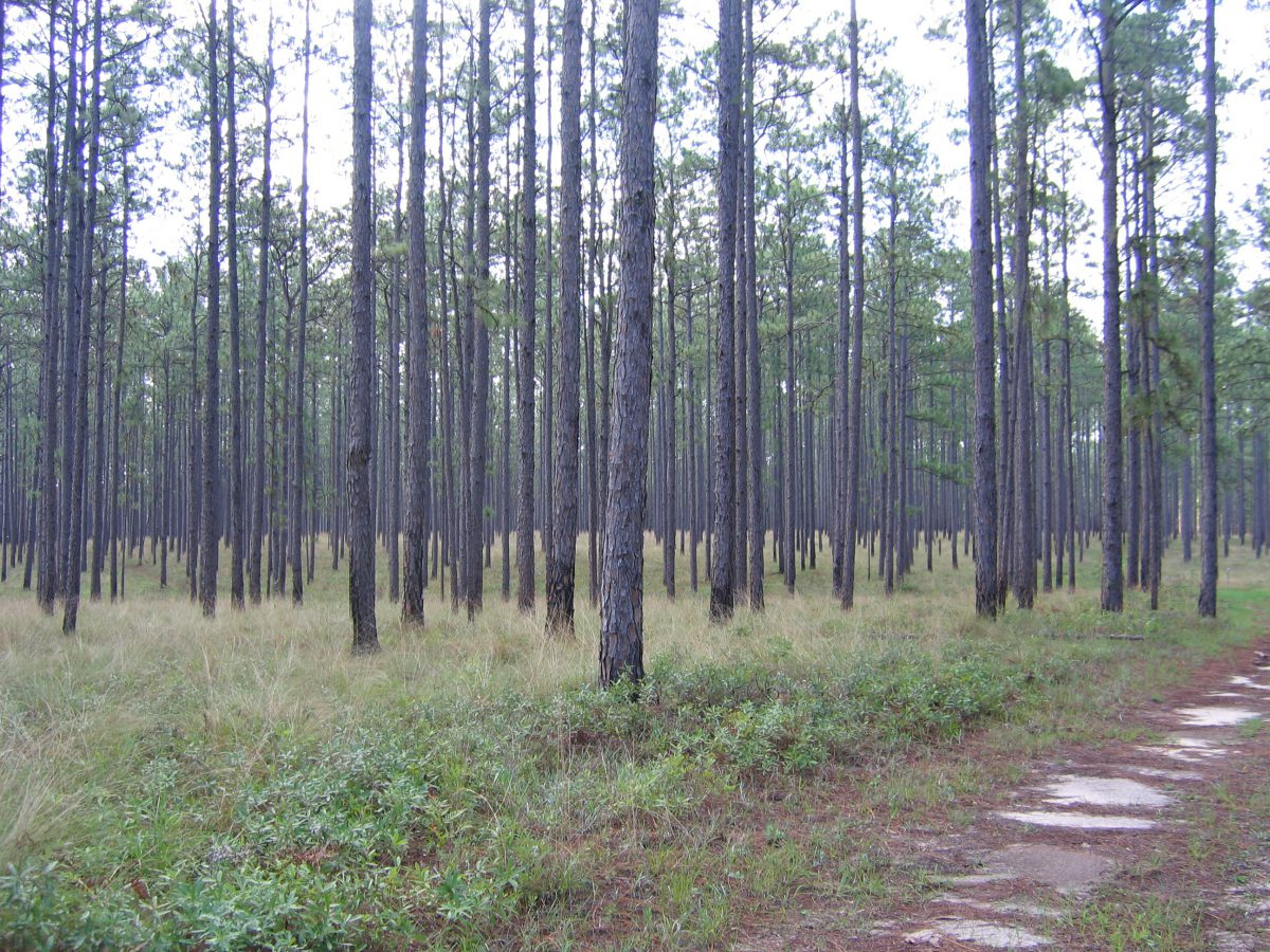 Pine Tree Plantation Farm